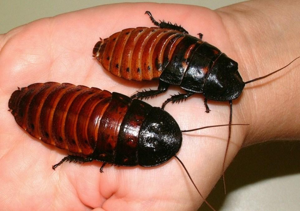 Madagaskar hamam böceği